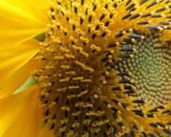 Image shows a detailed close up shot of the centre and some petals of a sunflower.